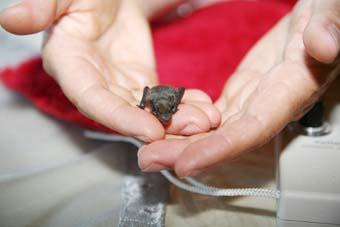 Eine Baby-Fledermaus in den Händen von Christine Köpf; Foto: M. Sontheimer