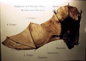Beschreibung einer Fledermaus im Höhlenmuseum in Laichingen.